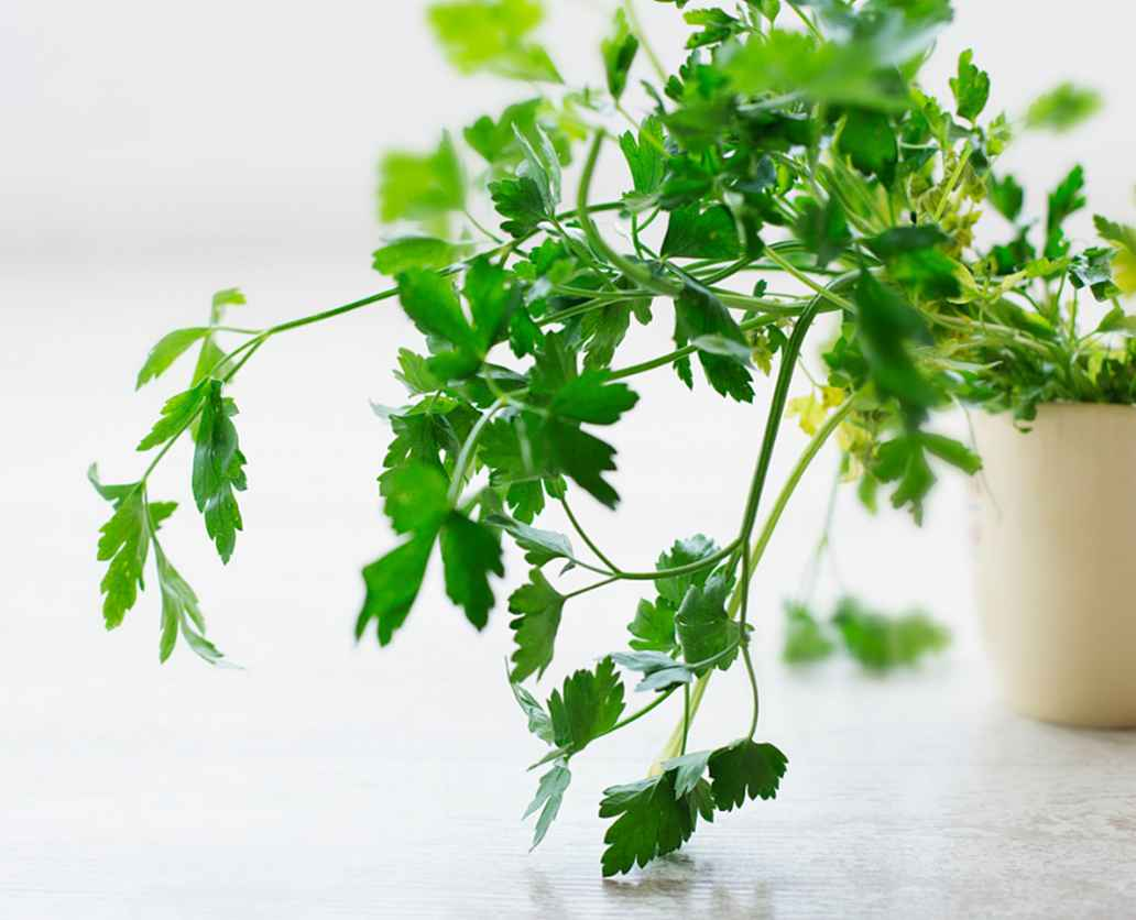 Sew parsley in autumn